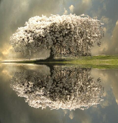 1392385583861_amazing-blossom-tree-reflection_%281%29.jpg